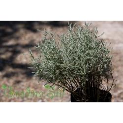 Cerastium tomentosum (Рожец)