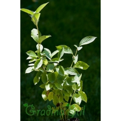 Cornus stolonifera Flaviramea (Сибирски дрян)