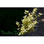 Evonymus fortunei Emerald`n Gold (Фортунов чашкодрян)