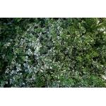 Evonymus fortunei Emerald Gaiety (Фортунов чашкодрян)