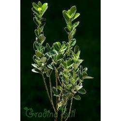 Evonymus japonica albamarginata (Японски чашкодрян)