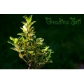 Evonymus japonica aureomarginata (Японски чашкодрян)