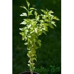 Hibiscus syriacus (Дървовидна ружа)