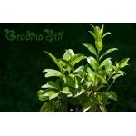 Laurocerassus officinalis (Лавровишна)