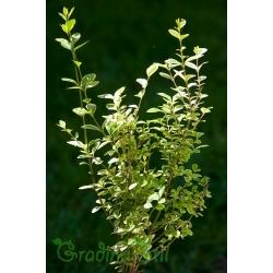 Ligustrum ovalifolium aureovariegata (Лигуструм)