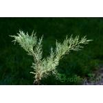 Juniperus Sabina Glauca (Сабина)