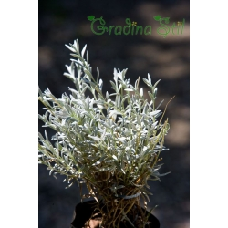 Santolina chamaecyparissus (Сантолина)
