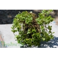 Sedum spathulifolium Purpureum (Седум)