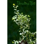 Spiraea vanhouttei (Майски храст)