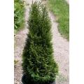 Thuja occidentalis Smaragd (Туя смарагд)