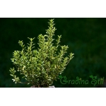 Evonymus japonica mycrophilla (Микрофила)