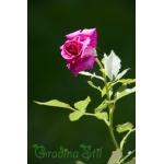Rosa (Роза)